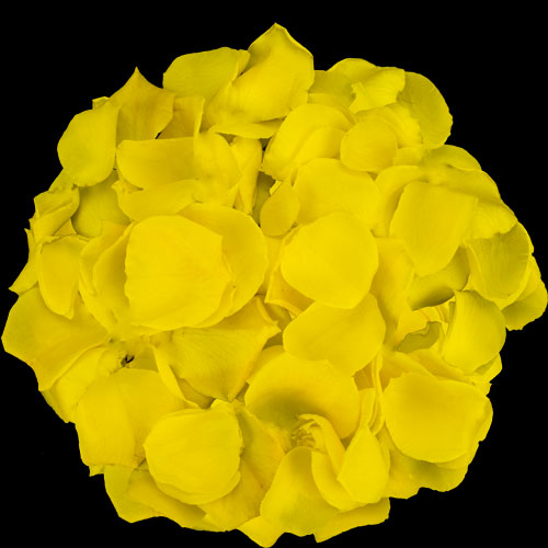 1 Jug of Fresh Yellow Rose Petals