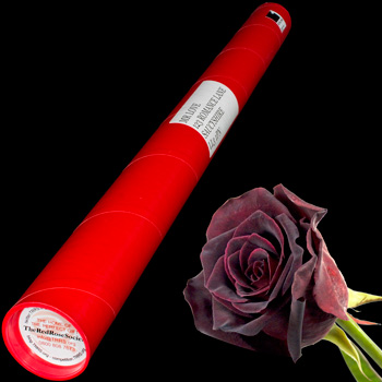 A Single Black Baccara Rose in a Postal Tube