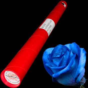 A Single Blue Rose in a Postal Tube