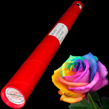 A Single Happy Rose in a Postal Tube