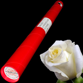 A Single White Rose in a Postal Tube