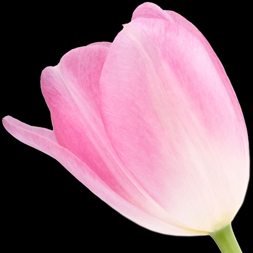A Single Classic Pink Tulip