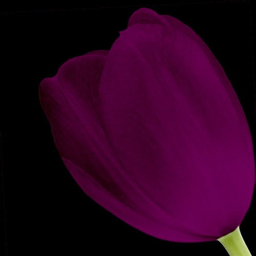 A Single Classic Purple Tulip
