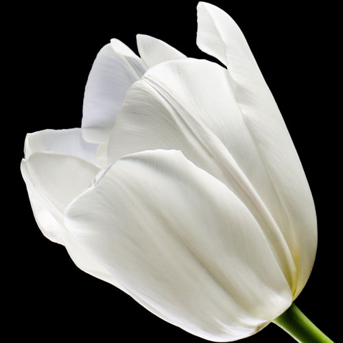 A Single Classic White Tulip