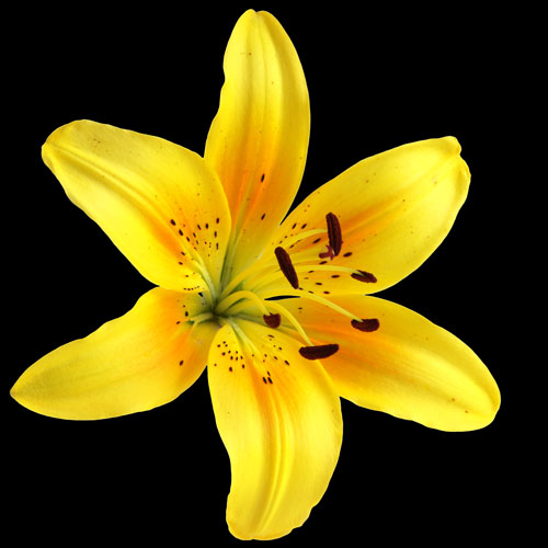 A Single Classic Yellow Lily