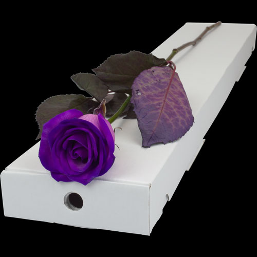 buy a single purple rose online with free delivery