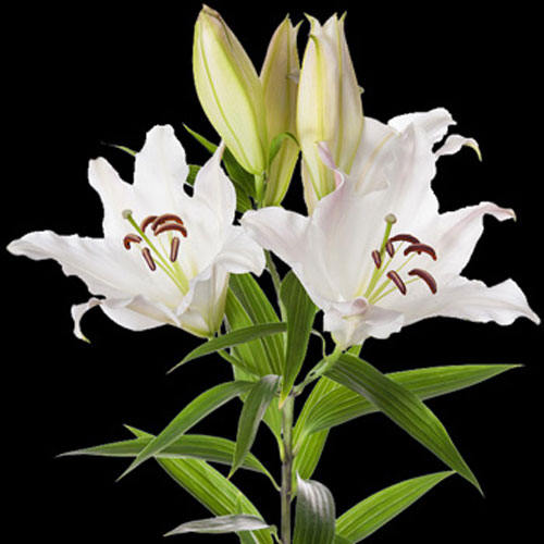 A Single Classic White Lily