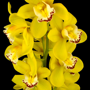 A Single Classic Yellow Cymbidium Orchid