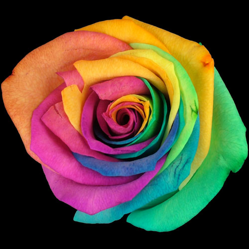 send a single happy rainbow rose buy a single happy
