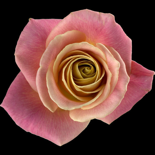 A Single Peach Rose