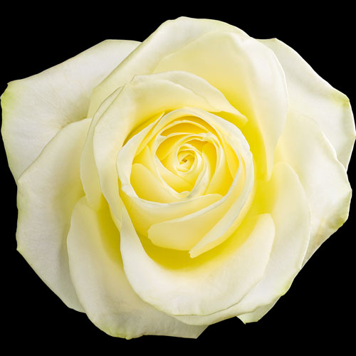 Send A Single White Rose | Buy A Single White Rose | Post ...