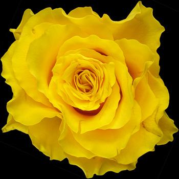 A Single Yellow Rose
