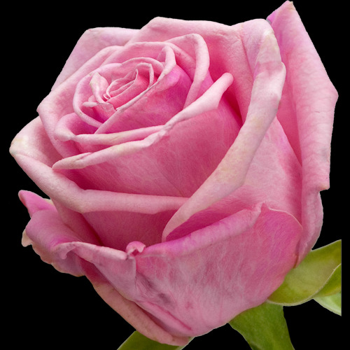 11 Black Baccara Roses and Pink Rose