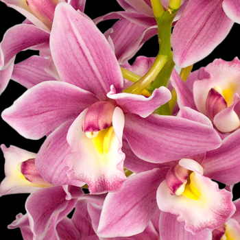 A Bouquet of 2 Classic  Cymbidium Orchids