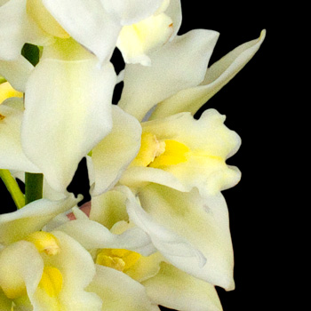 A Single Classic White Cymbidium Orchid