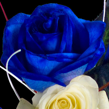 3 Great British Roses hand-tied into a Luxury Bouquet