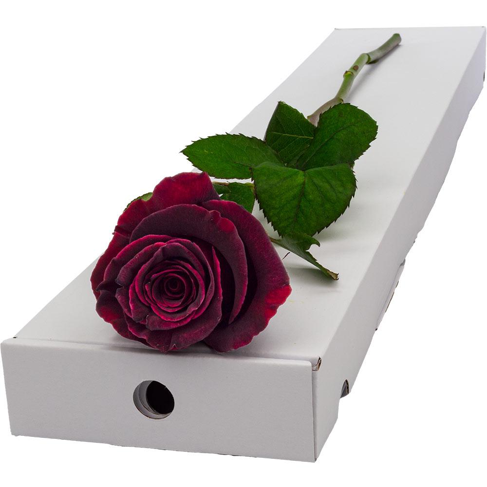 Flowers Letterbox Single Black Baccara Rose
