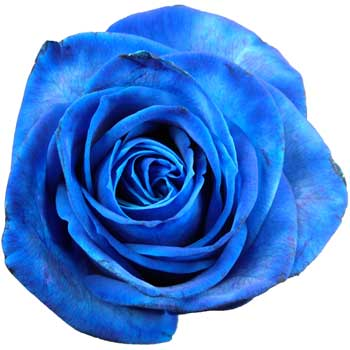 12 Luxury Blue Roses