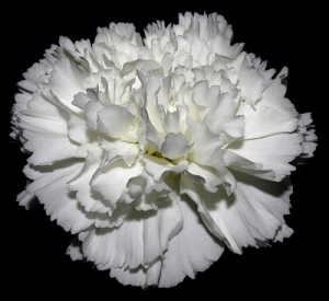 Close up of White Carnation